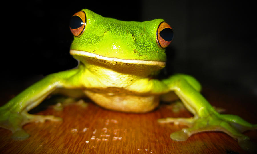Tree Frog Photograph - Green Tree Frog by Laura Hiesinger