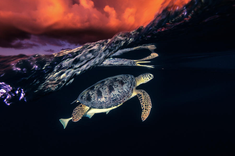 Turtle Photograph - Green Turtle And Sunset - Sea Turtle by Barathieu Gabriel