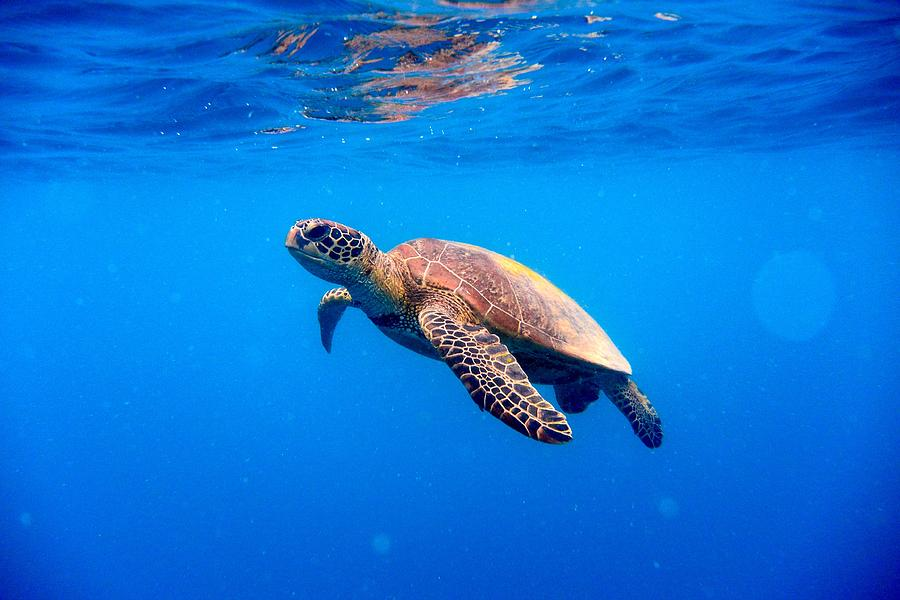 Green Turtle Approaching Water Surface Photograph by Searsie