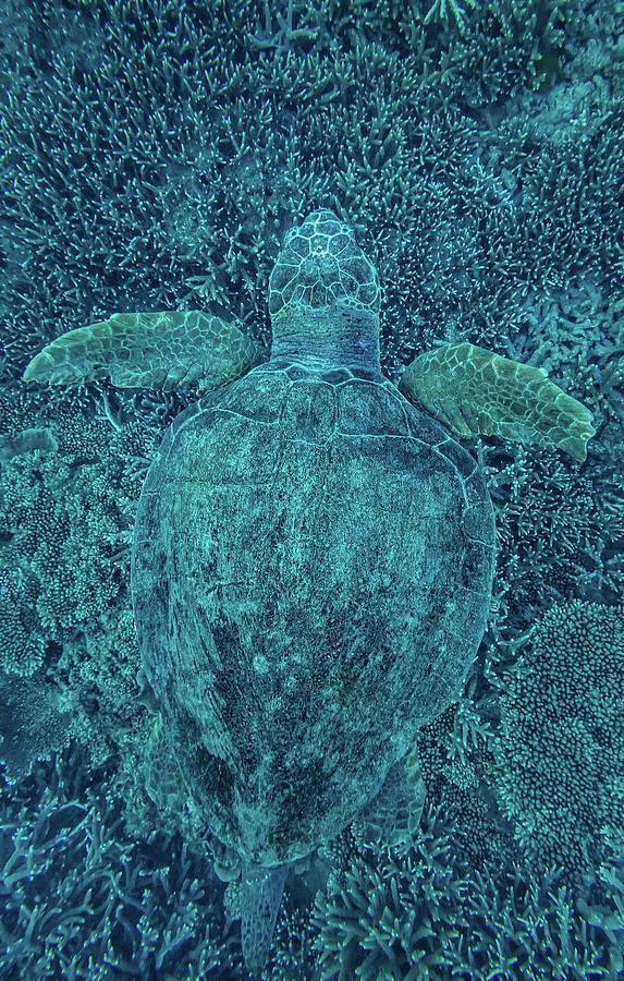 Green Turtle Hidden In Coral Photograph by Greg Sullavan