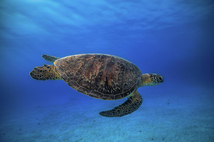 Turtle Photograph - Green Turtle In The Blue by Barathieu Gabriel