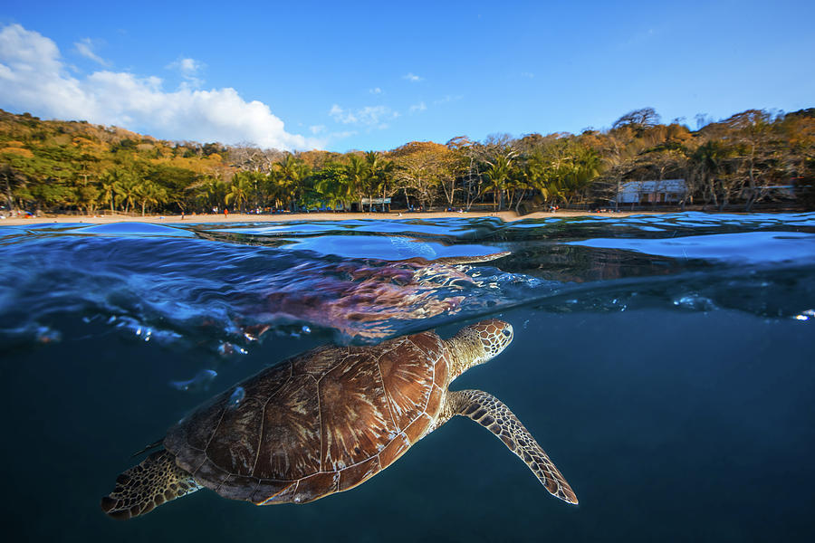 Turtle Photograph - Green Turtle - Sea Turtle by Barathieu Gabriel
