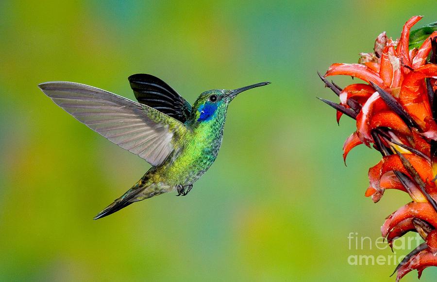 Fauna Photograph - Green Violet-ear Hummingbird by Anthony Mercieca