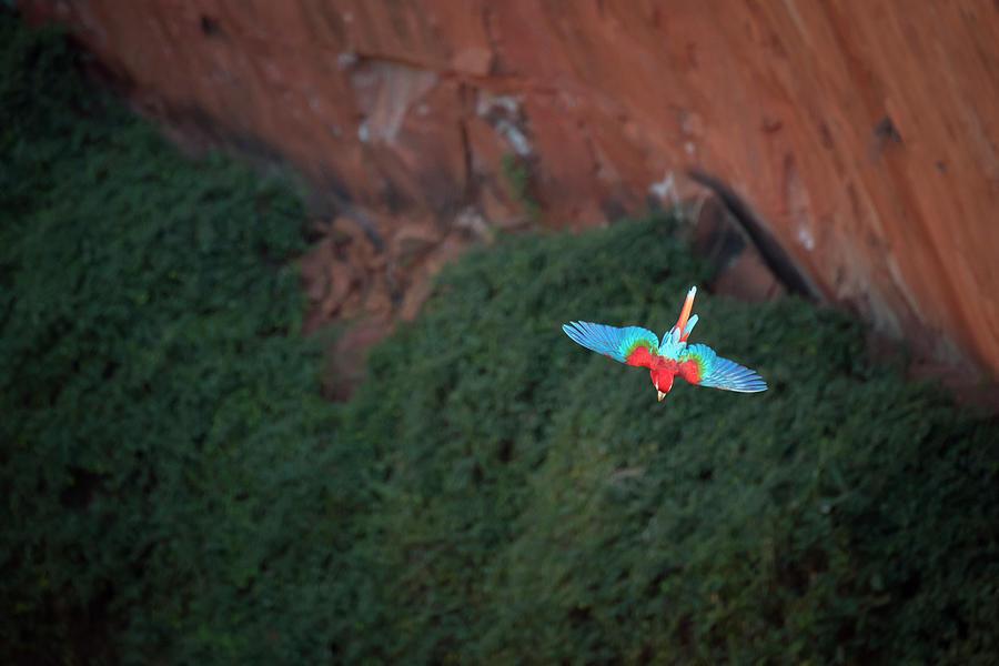Macaw Photograph - Green-winged Macaw In Flight Ara by Sean Caffrey
