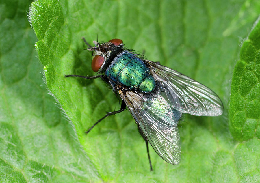 Insect Photograph - Greenbottle by Nigel Downer