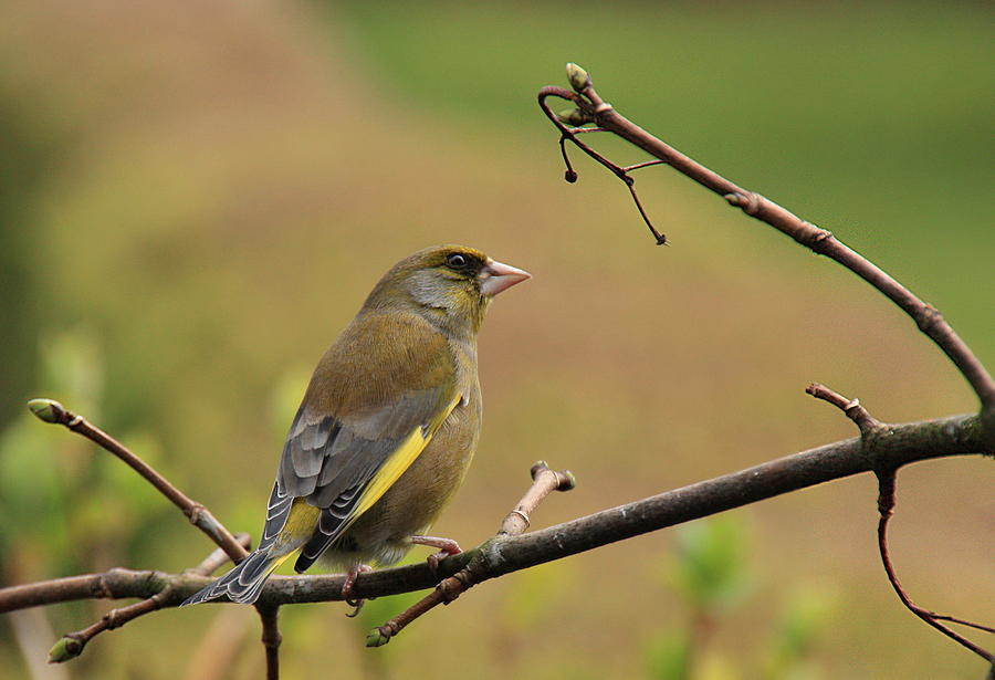 Greenfinch Photograph by Peter Skelton