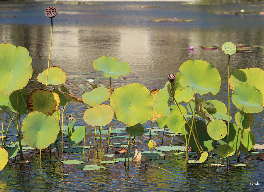 Pond Photograph - Greens On A Pond 3 by Mark Steven Burhart