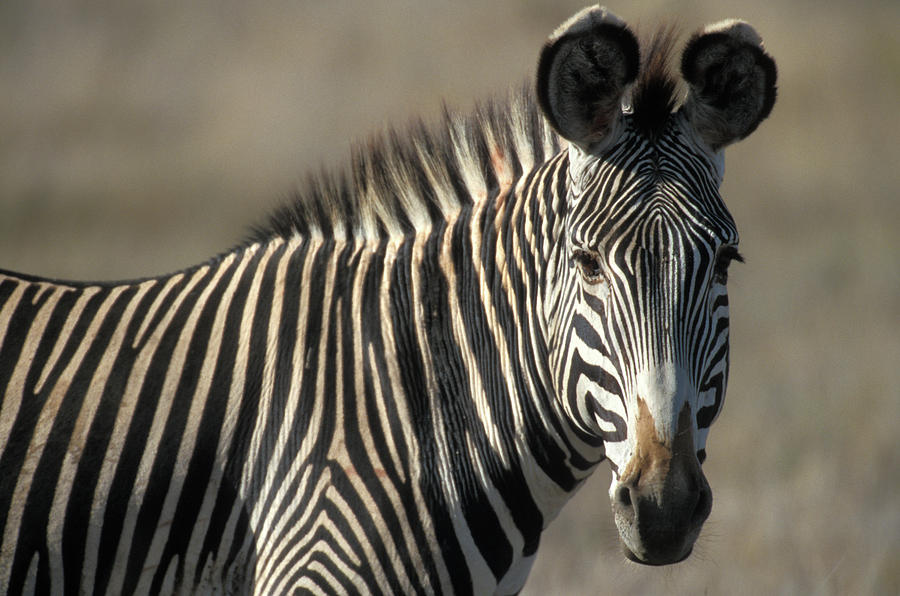 Horizontal Photograph - Grevys Zebra Standing In Plains Kenya by Animal Images
