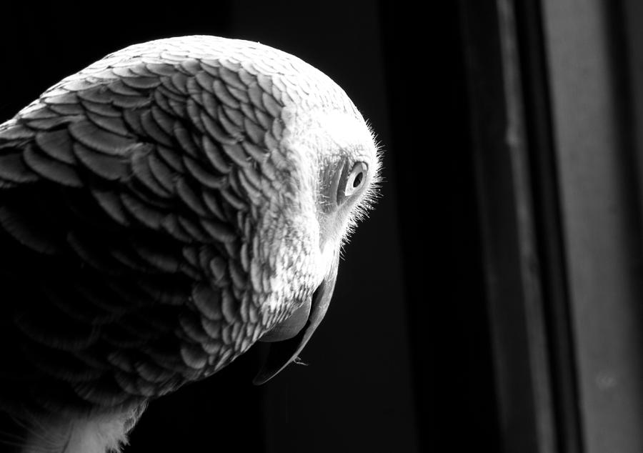 Parrot Photograph - Grey 1 by Paulina Szajek