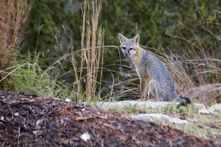 Fox Photograph - Grey Fox At Rest by Dana Moyer