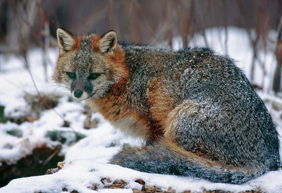 Urocyon Cinereoargenteus Photograph - Grey Fox by William Ervin/science Photo Library