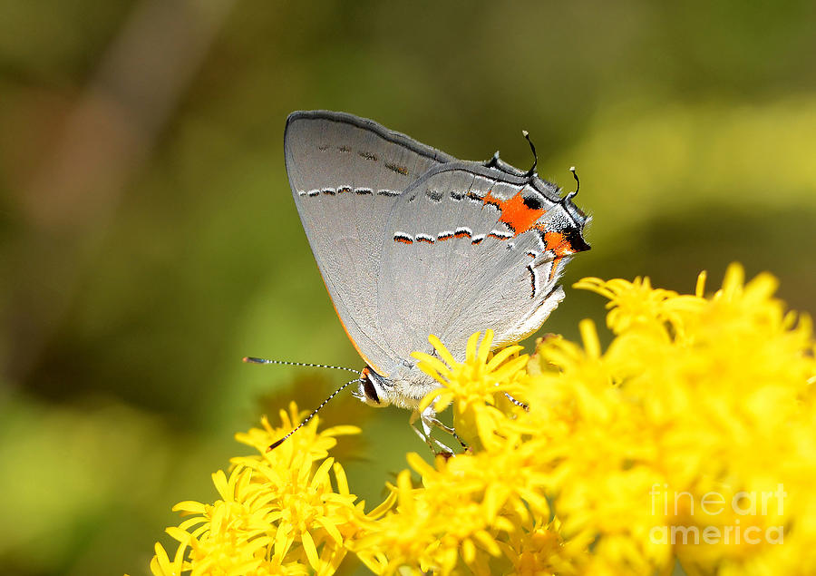 Butterfly Photograph - Grey Hairstreak Butterfly by Kathy Baccari