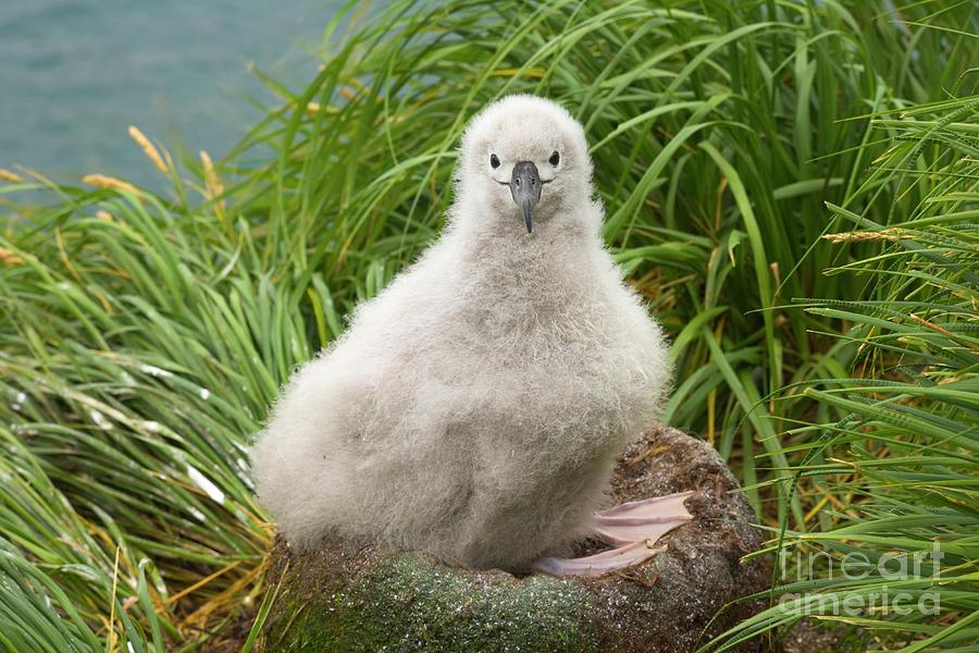 Grey-headed Albatross Chick Photograph by Yva Momatiuk John Eastcott