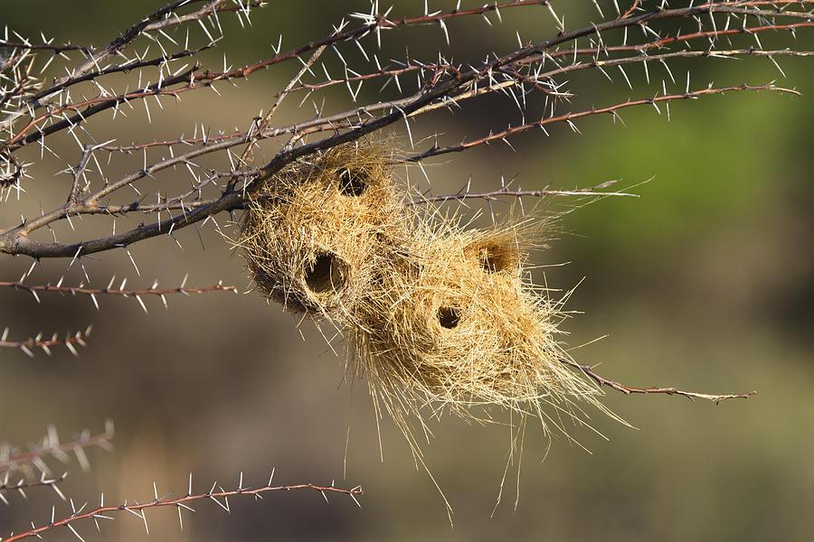 Animalsandearth Photograph - Grey-headed Social-weaver Nests Tanzania by Konrad Wothe