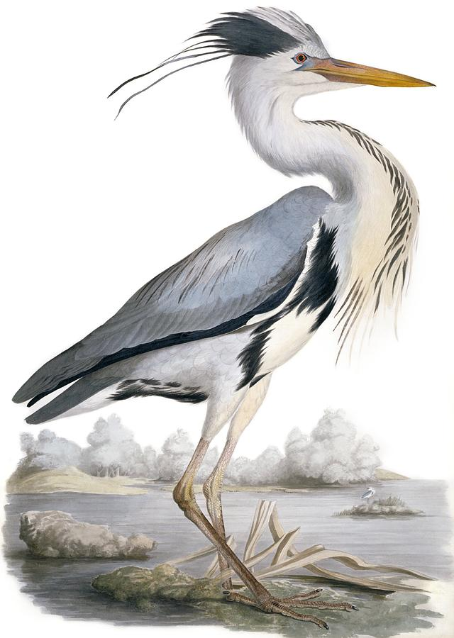 Grey Heron Photograph - Grey Heron, 19th Century by Science Photo Library