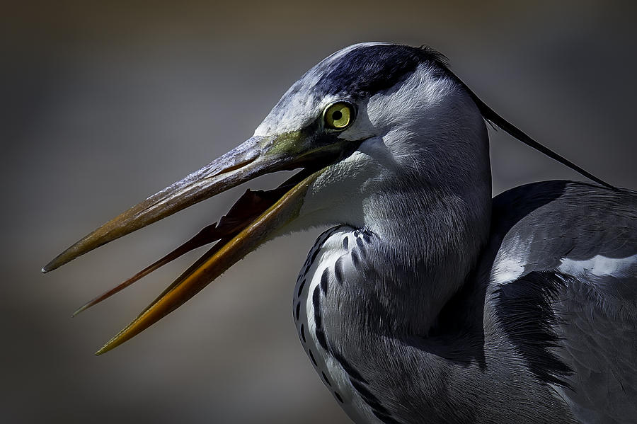Grey Heron Photograph - Grey Heron Profile With Open Beak by Wild Artistic