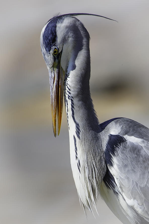 Grey Heron Photograph - Grey Heron Profile With Soft Background by Wild Artistic