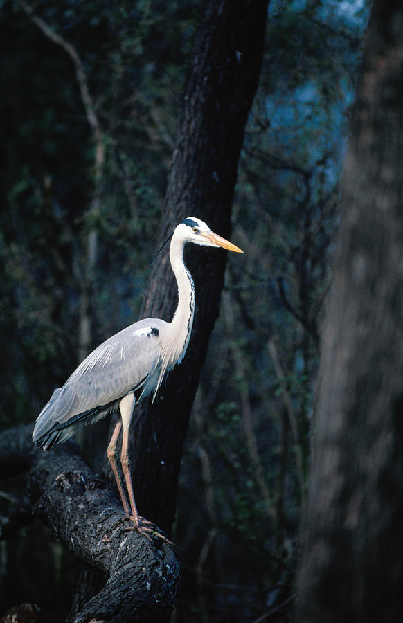 Grey Heron Standing On Branch Photograph by Dennis Jones