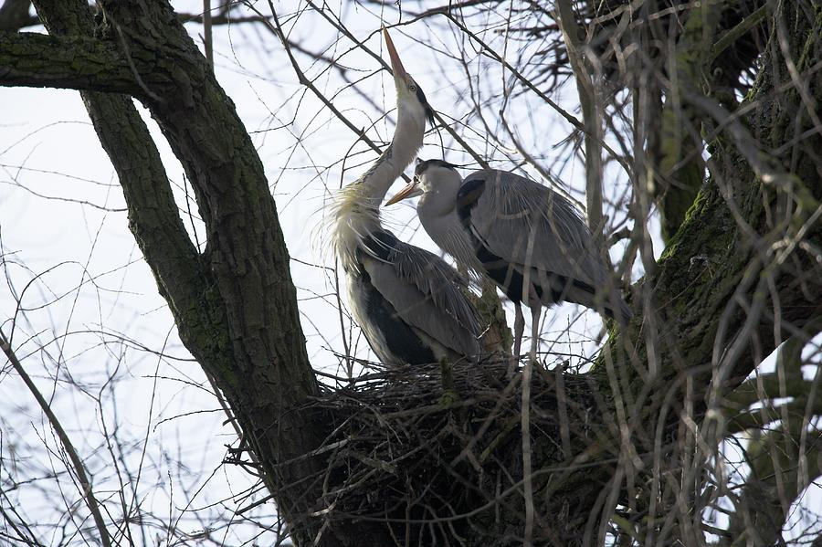 Grey Heron Photograph - Grey Herons Nesting by Simon Booth/science Photo Library