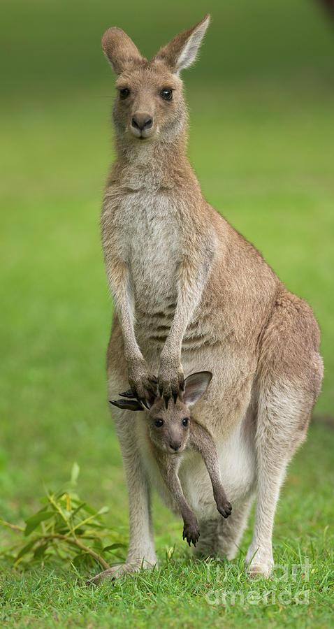 Mp Photograph - Grey Kangaroo And Joey  by Yva Momatiuk John Eastcott