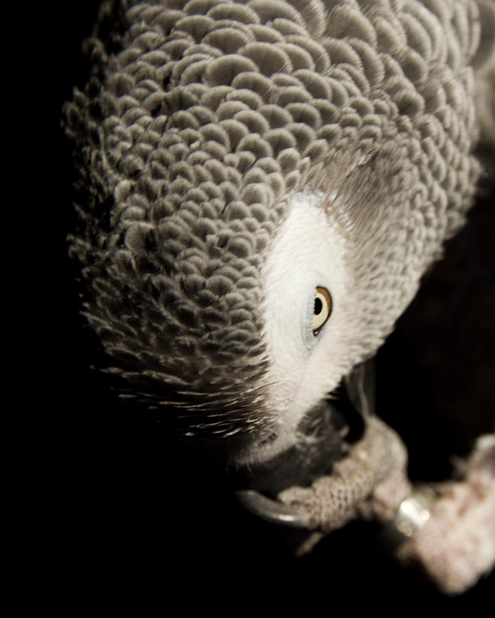 Parrot Photograph - Grey Look by Paulina Szajek