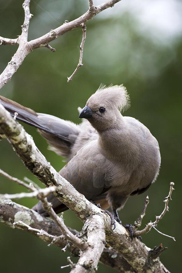 Bird Photograph - Grey Lourie/goaway Bird by Sean McSweeney