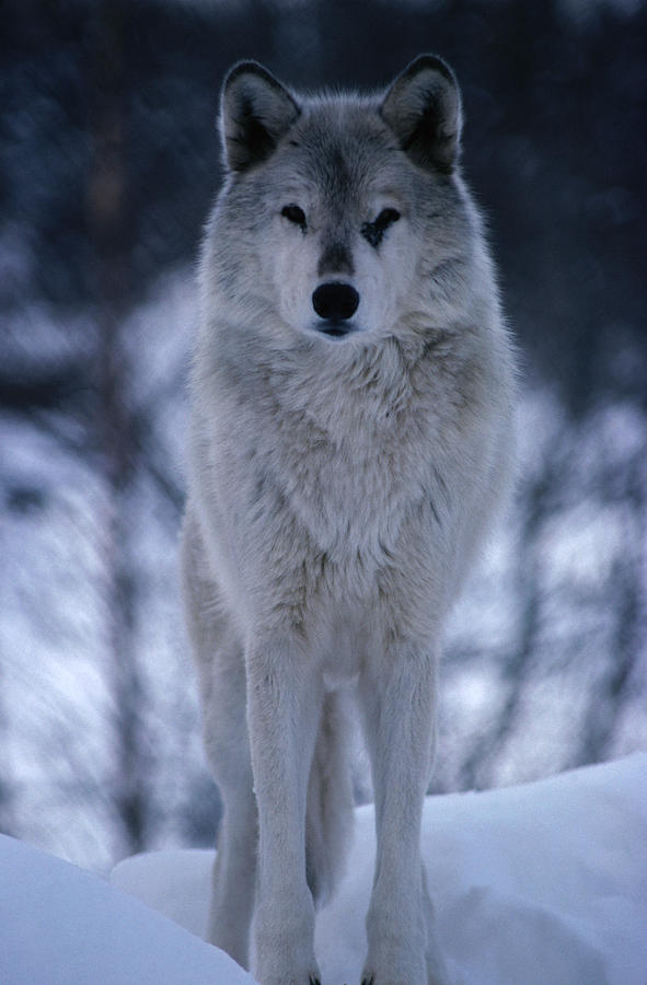 Grey Or Timber Wolf Canis Lupus In The Photograph by Mark Newman