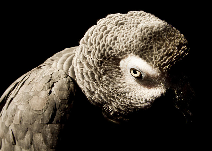 Parrot Photograph - Grey  by Paulina Szajek