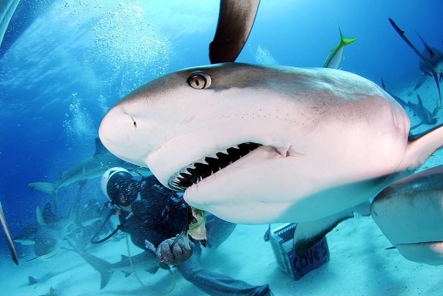 Shark Photograph - Grey Reef Shark by Liudmila Di