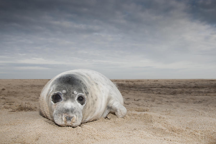Grey Seal On Beach Norfolk England Photograph by Kyle Moore