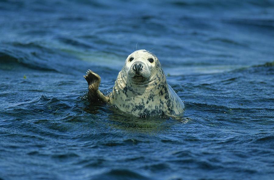 Fn Photograph - Grey Seal Waving by Martin Woike