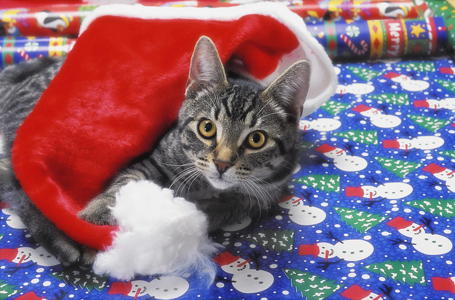 Gift Wrap Photograph - Grey Tabby Cat With Santa Claus Hat by Thomas Kitchin & Victoria Hurst