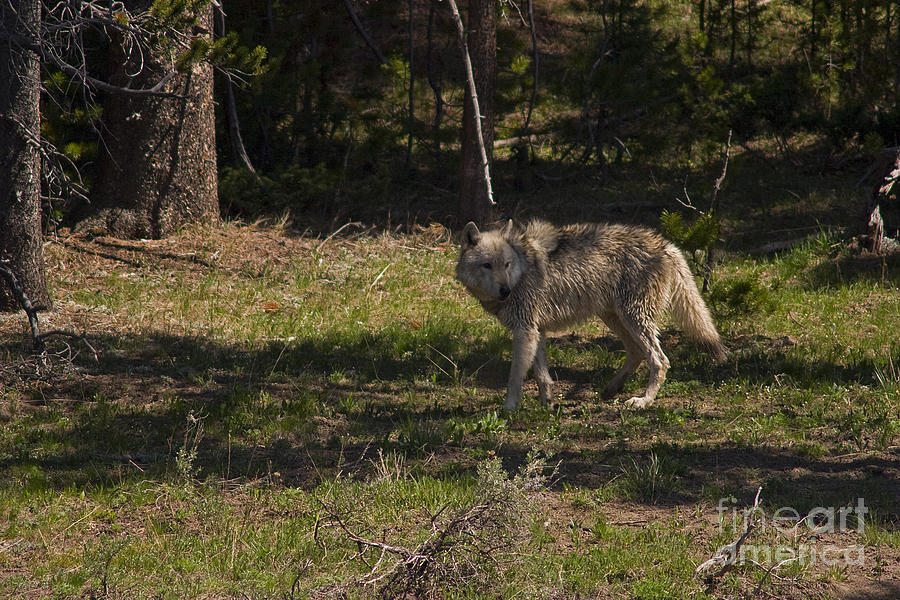 Canis Lupus Photograph - Grey Wolf   #3315 by J L Woody Wooden