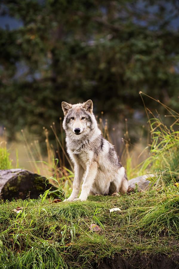 Grey Wolf  Canis Lupus  Pup Roams It S by Doug Lindstrand