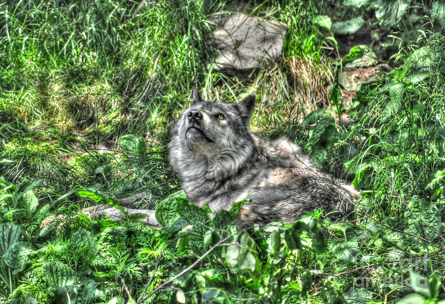 Wolf Photograph - Grey Wolf Dreaming by Skye Ryan-Evans