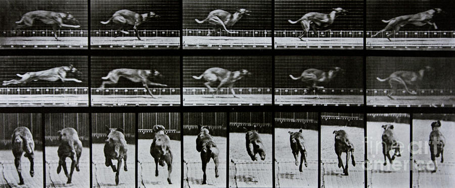 Muybridge Photograph - Greyhound Running by Eadweard Muybridge