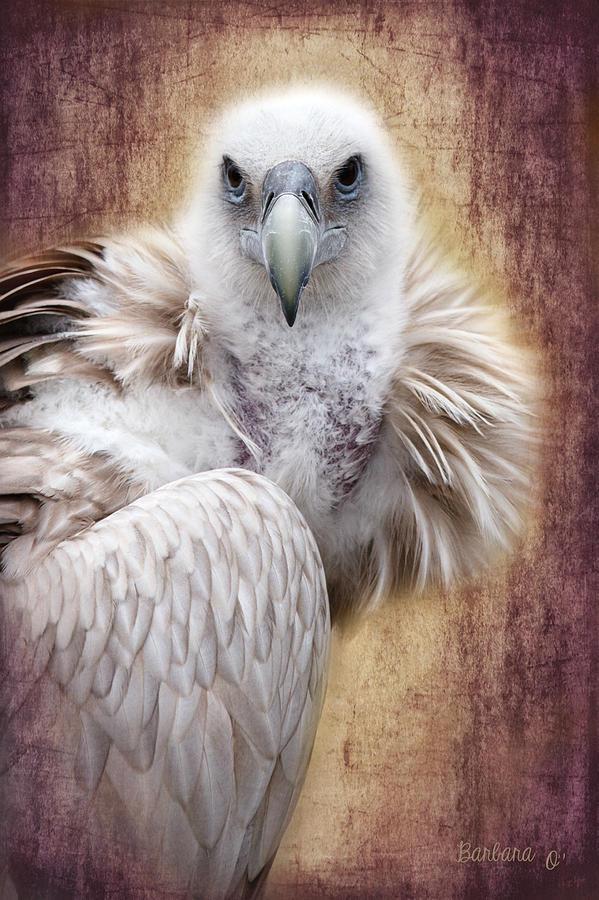 Vulture Photograph - Griffon Vulture by Barbara Orenya
