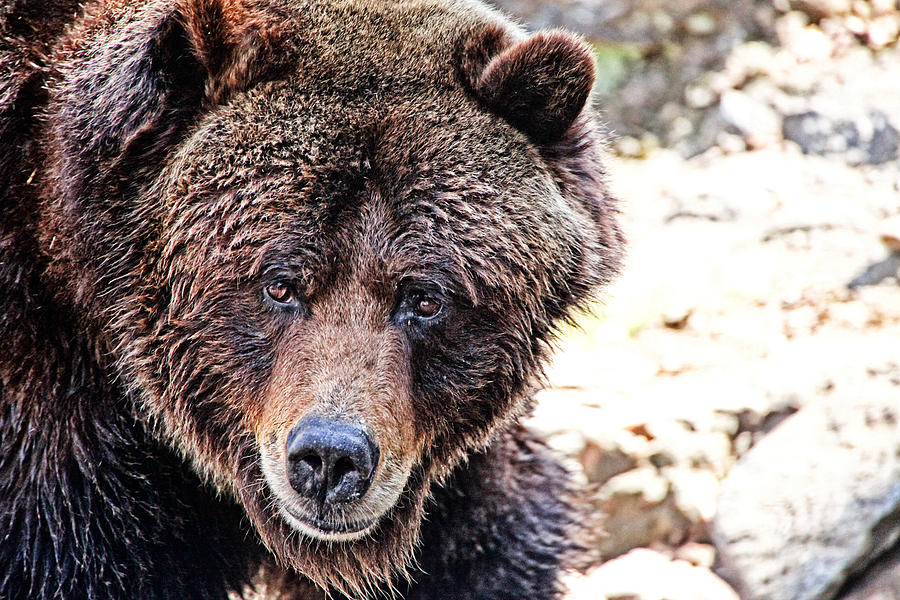 Grizzly Bear Photograph - Grizz by Karol Livote