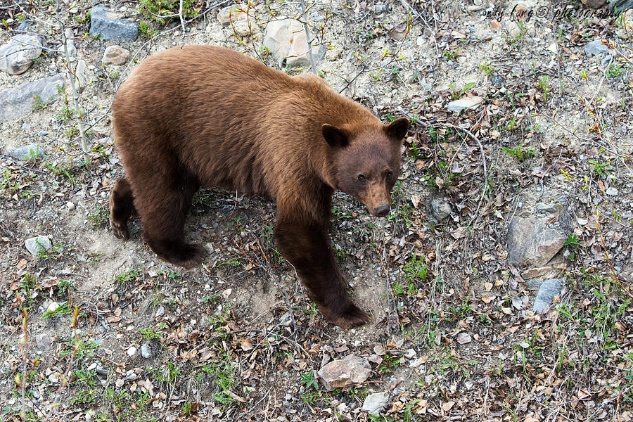 Jasper Photograph - Grizzly Bear 1 by Andy Fung