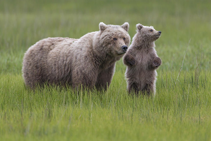 Grizzly Bear And Cub In Grass Lake Photograph by Ingo Arndt