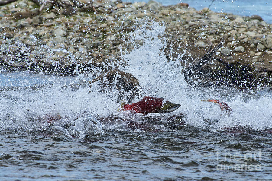 Grizzly Bear Photograph - Brown Bear Chasing Salmon While Salmon Jump To Escape by Dan Friend