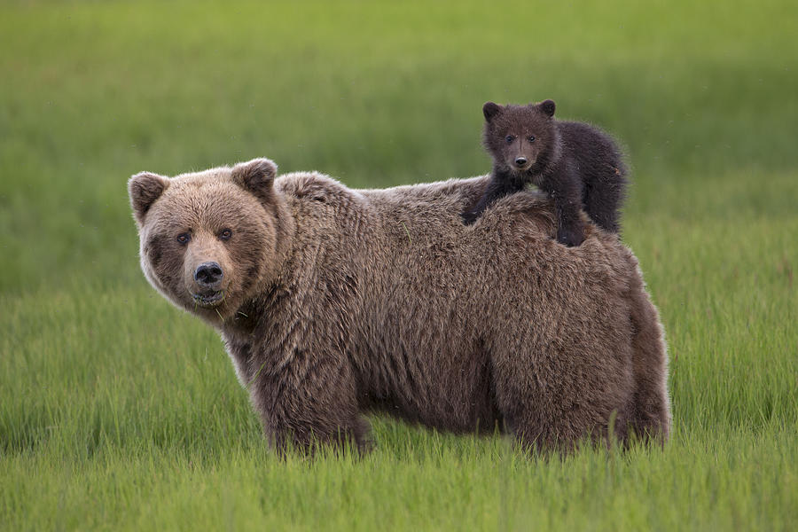 Grizzly Bear Cub Riding Lake Clark Photograph by Ingo Arndt