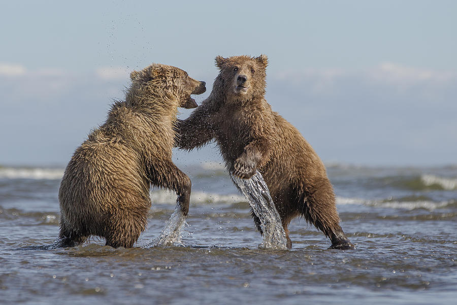 Grizzly Bear Cubs Play-fighting Lake Photograph by Ingo Arndt