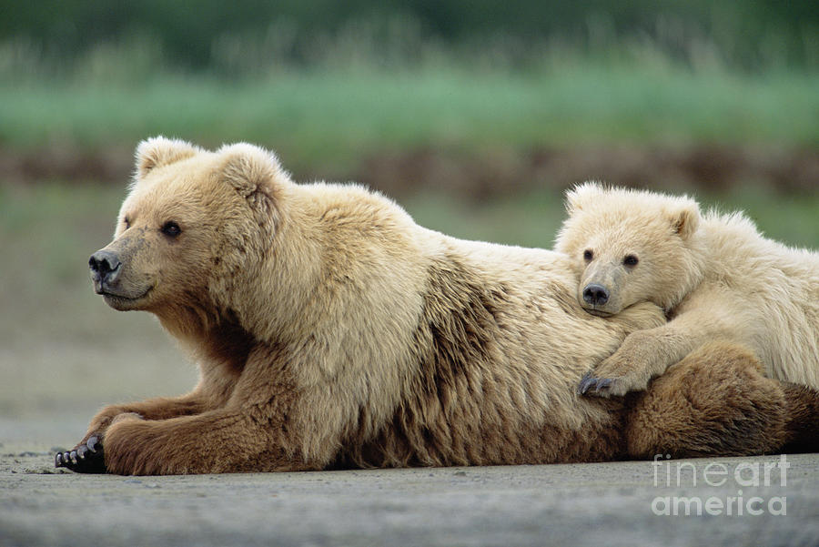 Mp Photograph - Grizzly Mother And Son by Yva Momatiuk John Eastcott