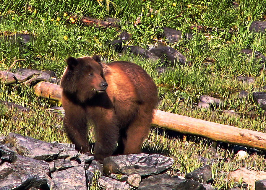 Bear Photograph - Grizzly Bear by Robert Bales