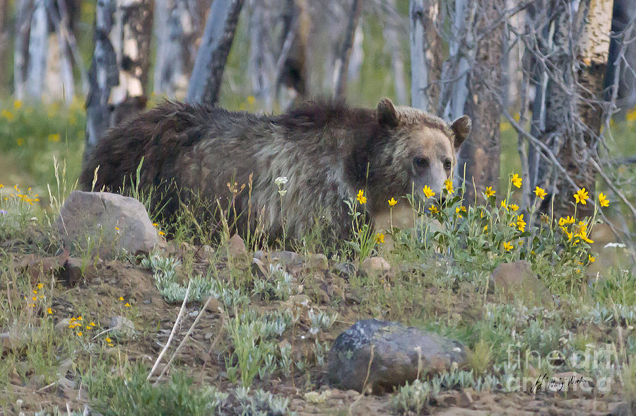 Grizzly Bear Smelling The Flowers-signed-#2062 Photograph