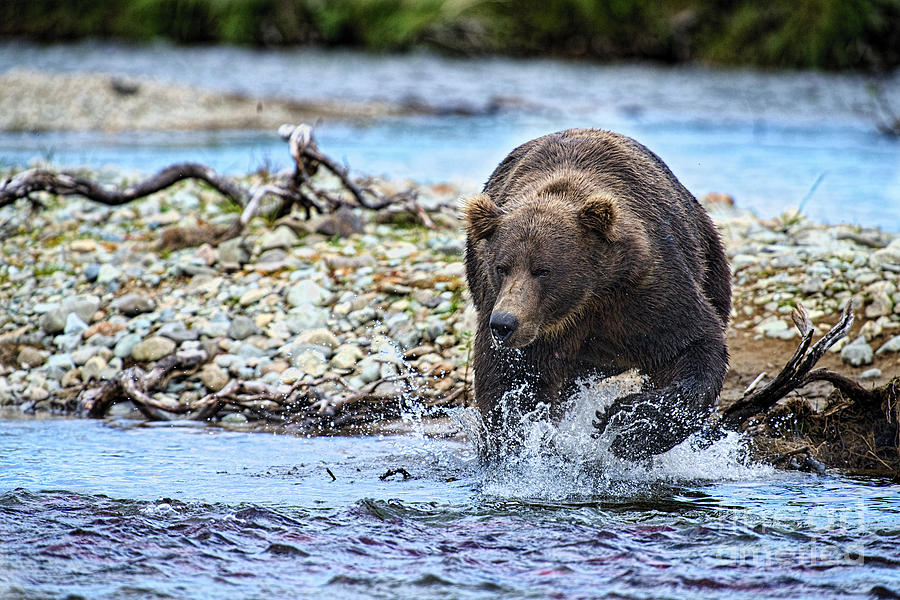 Grizzly Bear Photograph - Brown Bear Spotting Salmon In Water by Dan Friend