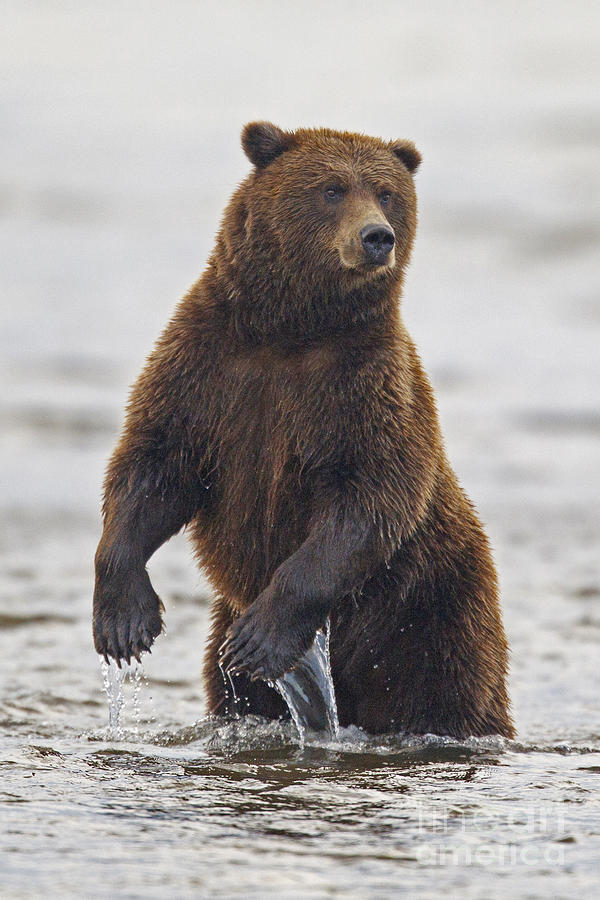 Grizzly Bear Standing In Water While Fishing Photograph by ...