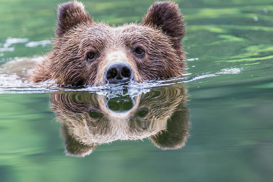 Grizzly Bear Ursus Arctos Horribilis Photograph by Robert Postma / Design Pics