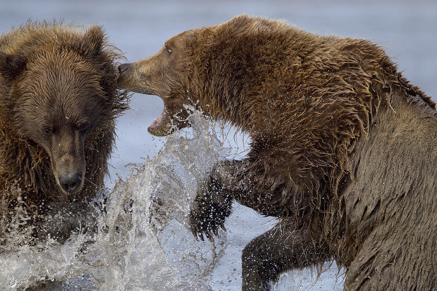 Grizzly Bears Fighting Lake Clark Np Photograph by Ingo Arndt